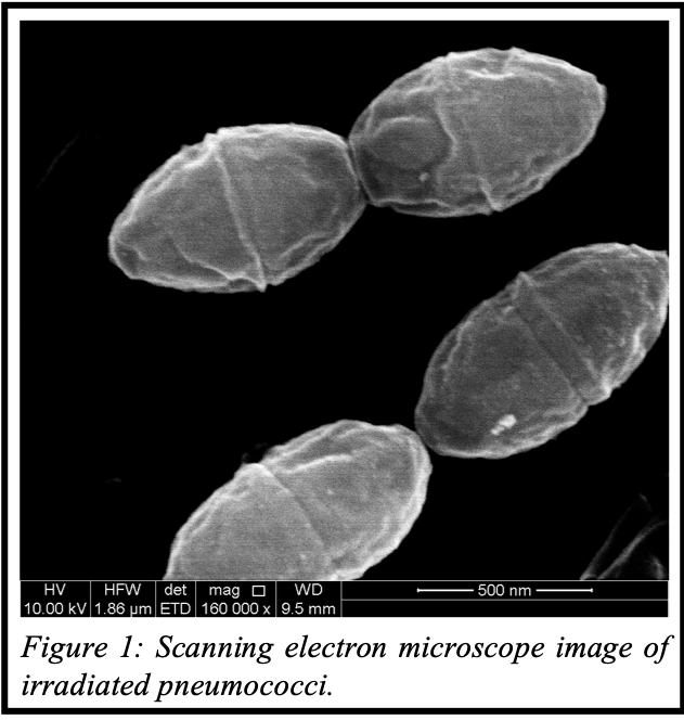 SEM image of irradiated pneumococci
