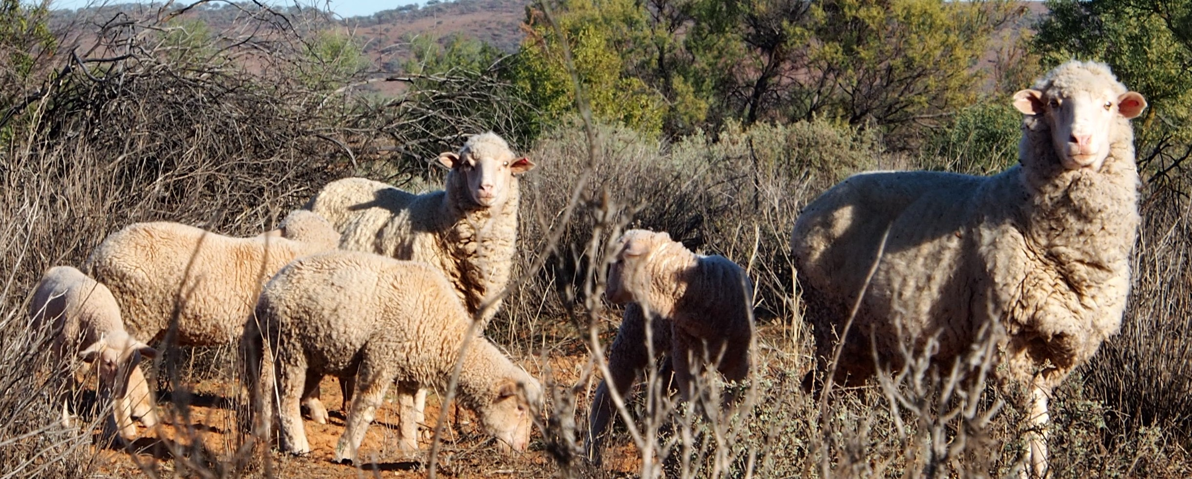 Sheep at Fowlers Gap Research Station